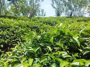 TEA ESTATE FOR SALE ( 150 ACRES ) OFF KANDY SRI LANKA