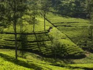 WANTED INVESTOR  BEAUTIFULLY TEA ESTATE FOR SALE SRI LANKA