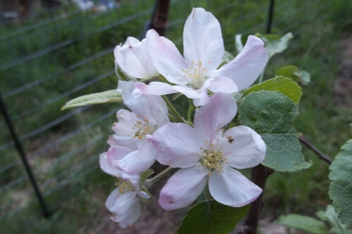 Our apple tree in bloom